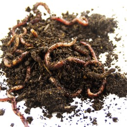 Earthworms Dendroben packaged, Ecobeits, container square, weight: 115 g