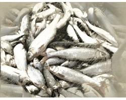 Отмена плановых проверок в рыболовстве